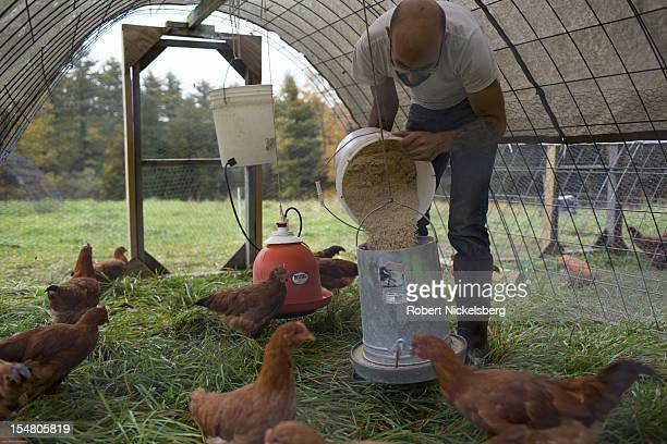 Zach Kalas 30years feeds free range New Hampshire breed chickens in a moveable chicken coop October 4 2012 at the Moon in the Pond farm in Sheffield...