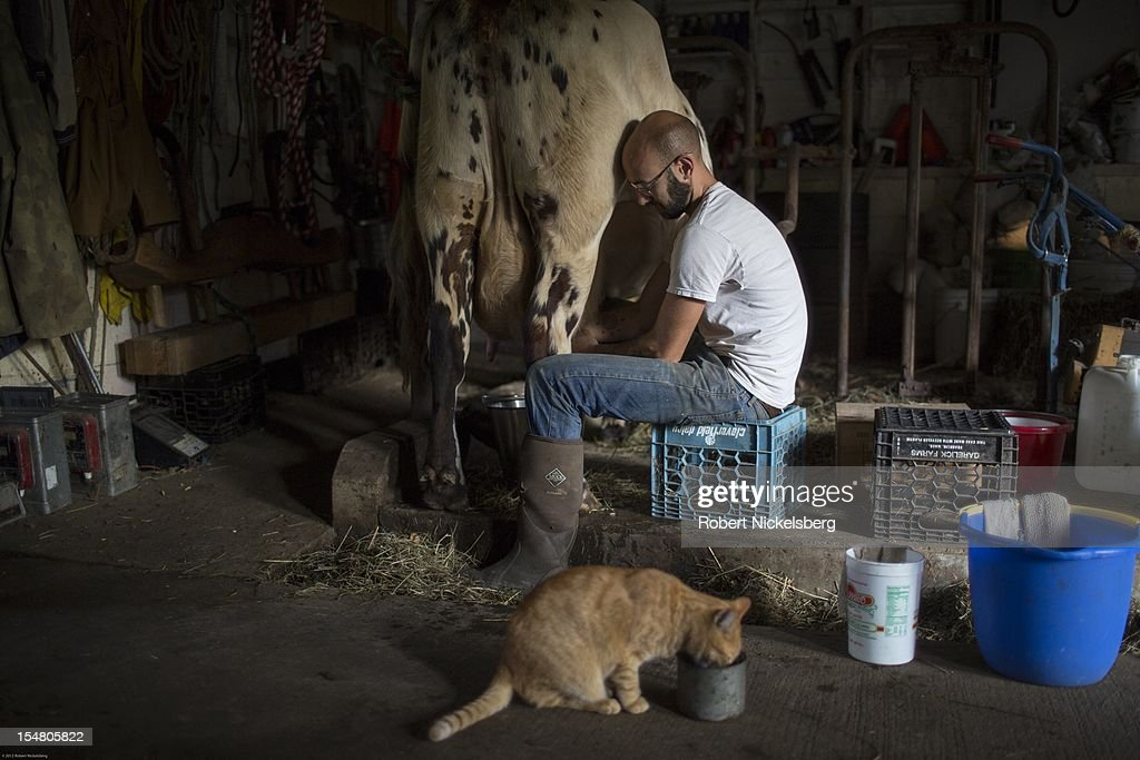 Zach Kalas, 30-years, milks a cow named Honey Suckle, October 5, 2012 at the Moon in the Pond farm in Sheffield, Massachusetts. The farm has two cows which are milked twice a day. The milk is used by the farm staff, to feed young pigs and a calf. Established in 1991 in the Berkshire Mountains, Moon in the Pond farm focuses on raising heritage breed livestock for meat and organic heirloom vegetables sold locally and at farmers' markets.
