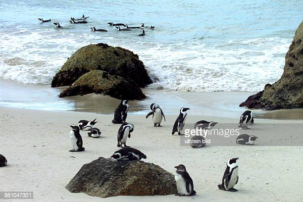 ZAF/south Africa/cape province The attraction at the beach of Boulders Beach is the colony of African penguins