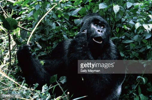 Zaire,close up of Silver Back Mountain Gorilla in undergrowth : Stock Photo