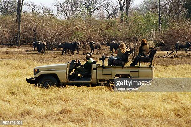 Zambia, South Luangwa National Park, buffalo (Syncerus caffer)