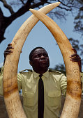 Zambian game warden displays a pair of giant ivory elephant tusks prior to the poached ivory being burned to prevent it being traded illegally