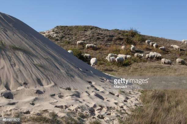 Zandduin met schapen