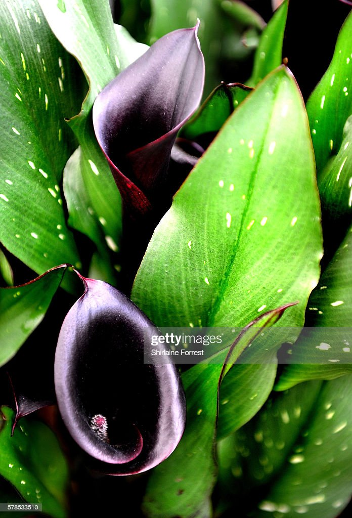 Zantedeschia aethiopica Stary Night during the RHS Flower Show at Tatton Park on July 21 2016 in Knutsford England