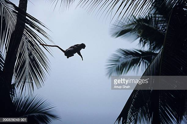 Zanzibar red colobus (Procolobus badius kirkii) jumping between trees, Zanzibar