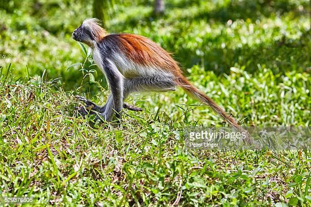 Zanzibar Red Colobus monkey, Jozani Forest