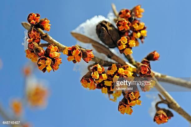 Zaubernuss schneebehangen entfaltet schon mitten im Winter ihre zierlichen Blueten