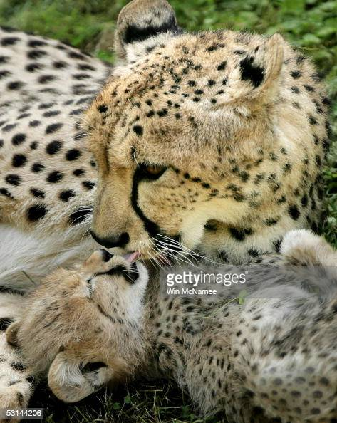 Zazi a mother cheetah gets a kiss from one of her five 10weekold cubs during their first public appearance at the National Zoo June 24 2005 in...