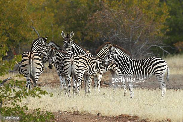 A zeal of zebras at the Mashatu game reserve on July 26 2010 in Mapungubwe Botswana Mashatu is a 46000 hectare reserve located in Eastern Botswana...
