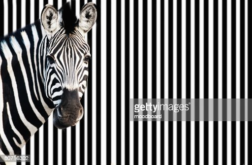 Zebra against background of black and white stripes : Stock Photo
