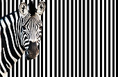 Zebra against background of black and white stripes