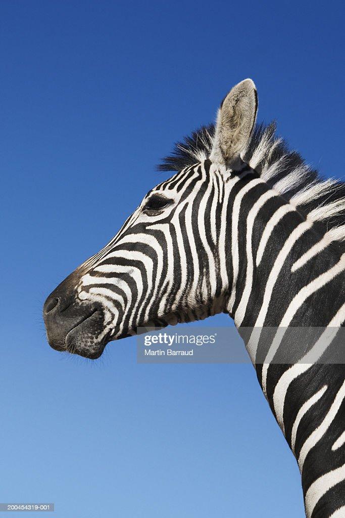 Zebra (Equus burchellii) against blue sky, (Digital Enhancement) : Stock Photo