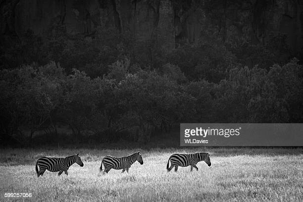 Zebra against dark backdrop