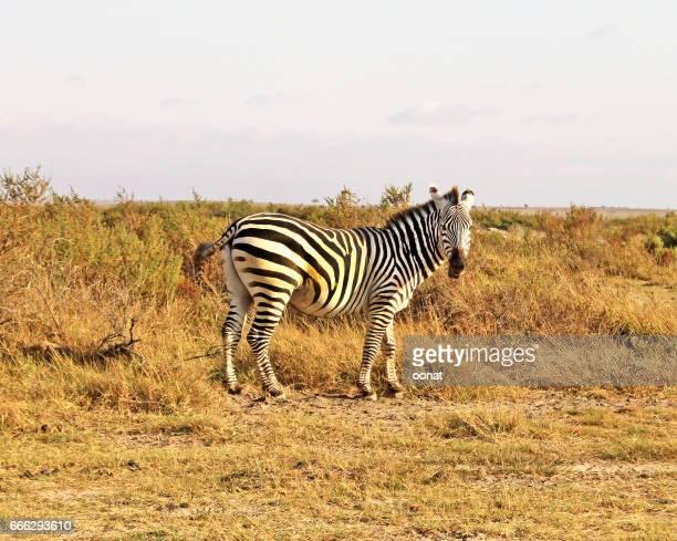Zebra - Amboseli National Park, Kenya