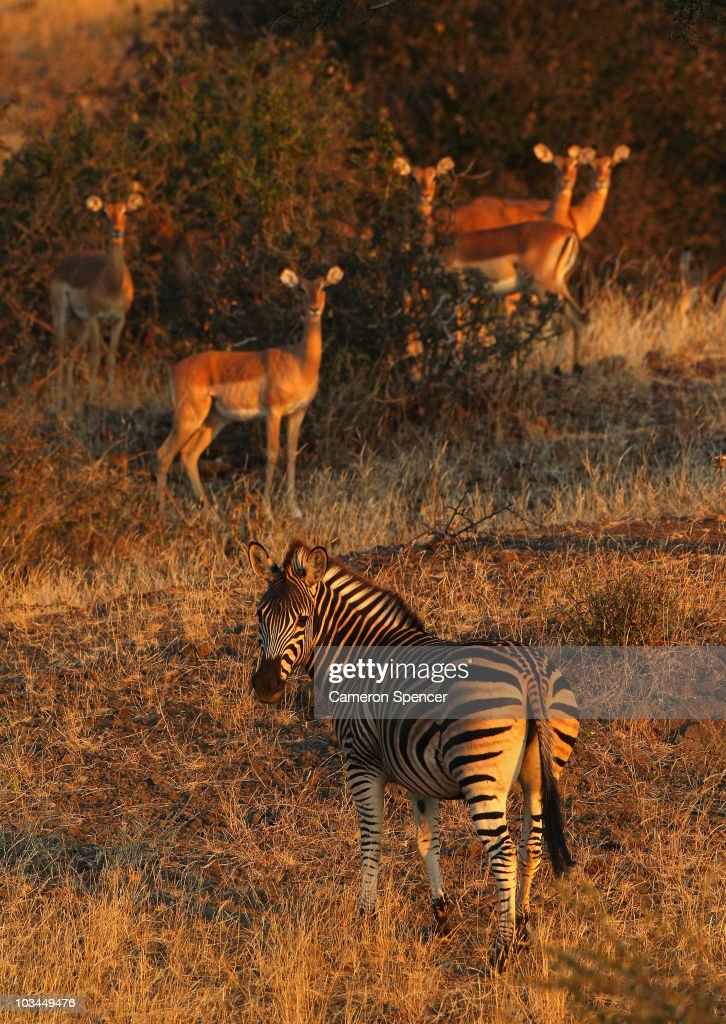 A zebra and impalas at the Mashatu game reserve on July 26, 2010 in Mapungubwe, Botswana. Mashatu is a 46,000 hectare reserve located in Eastern Botswana where the Shashe river and Limpopo river meet.