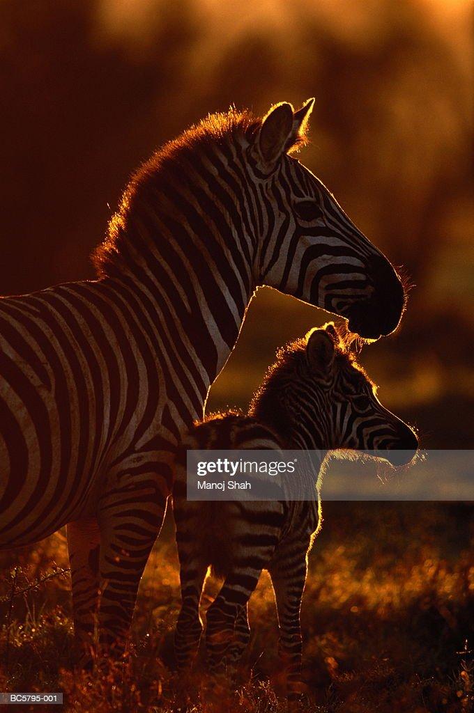 Zebra (Equus burchelli) and one week old foal, backlit, Kenya : Stock Photo