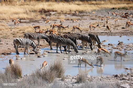 Zebra and springbok drinking at a waterhole : Stock Photo