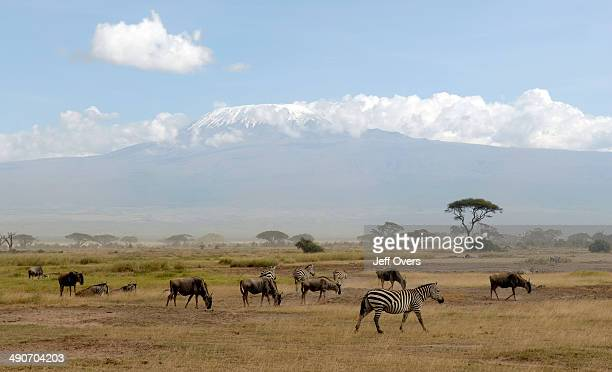 Zebra and wildebeest graze on the grasslands of Amboseli National Park in Kenya The Park is on the border with Tanzania and Mount Kilimanjaro...