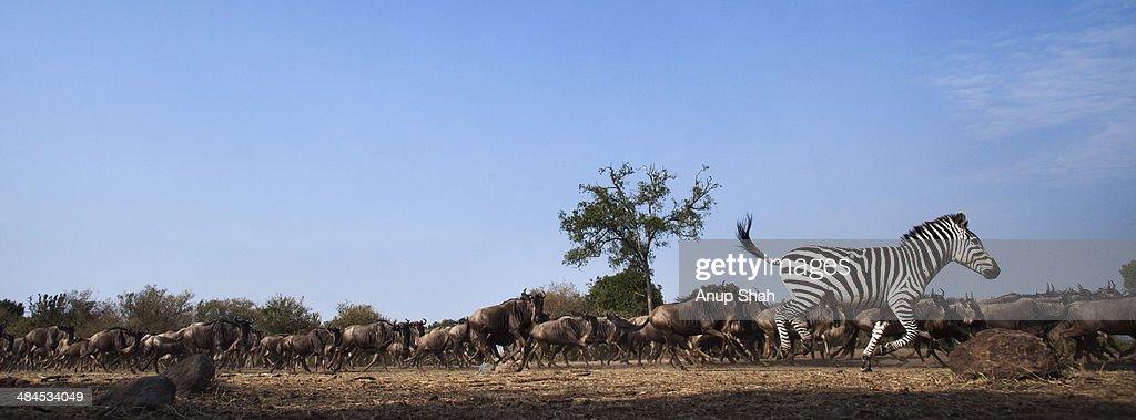 Zebra and Wildebeest mixed herd running