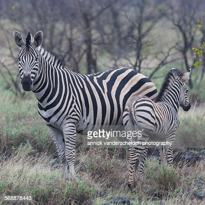Zebra and young : Stock Photo