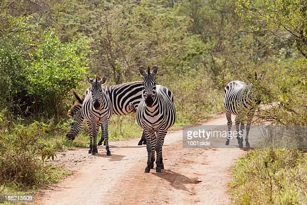 Zebra at Lake Mburo National Park
