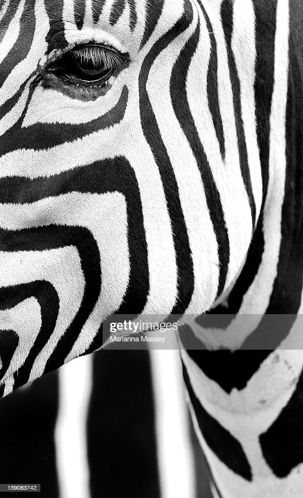 A Zebra at Taronga Zoo is treated to a frozen ice block of carrots on January 8, 2013 in Sydney, Australia. Temperatures are expected to reach as high as 43 degrees around Sydney today.