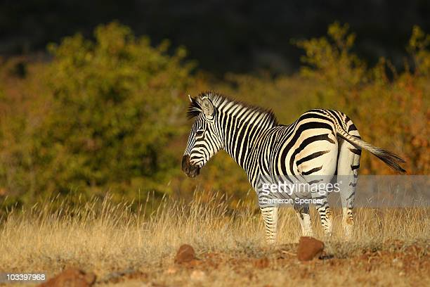 A zebra at the Mashatu game reserve on July 24 2010 in Mashatu game reserve Botswana Mashatu is a 46000 hectare reserve located in Eastern Botswana...