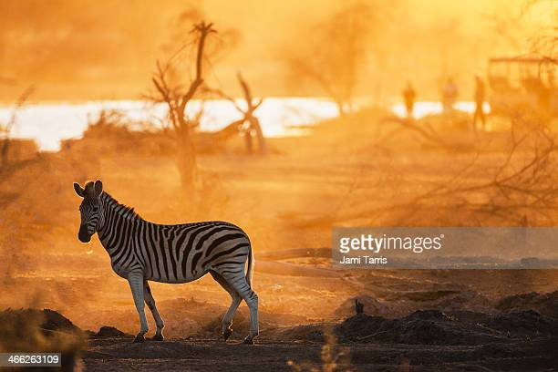 A zebra backlit in front of tourist vehicle