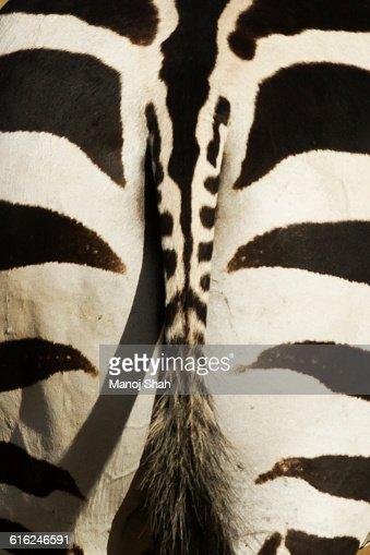 Zebra backside : Stock Photo