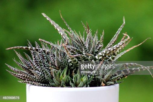 plante grasse zebree