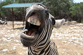 funny close-up of zebra with teeth showing