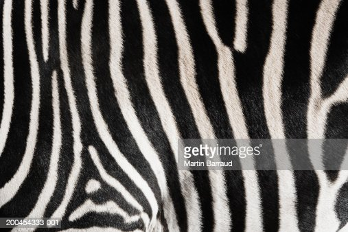 Zebra (Equus burchellii) close-up (Digital Enhancement)