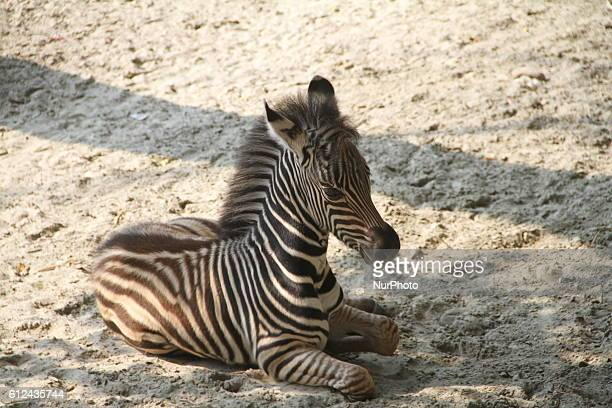A zebra cub in Dhaka on October 4 2016 at the National Zoo of Bangladesh 6 Days old the striped baby zebra is now spending time with her mother named...