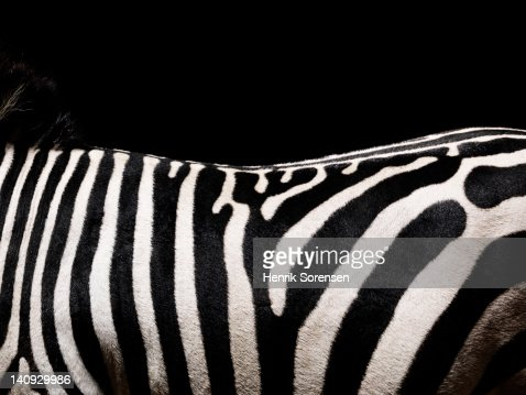 Zebra, deatil og back : Stock Photo