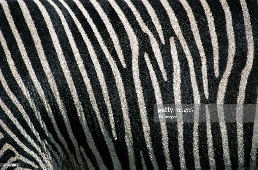 Zebra Detail : Stock Photo