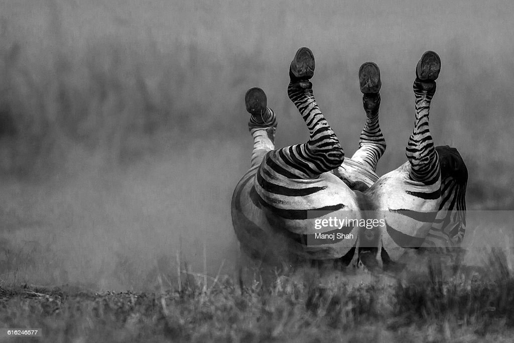 Zebra Dusting : Stock Photo