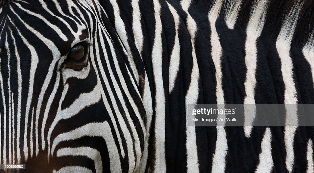 Zebra, Equus quagga burchellii, Ngorongoro Conservation Area, Tanzania, Africa : Stock Photo