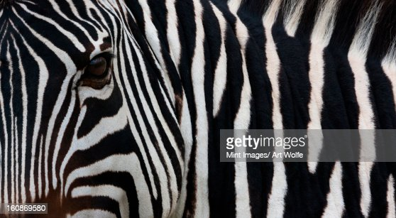 Zebra, Equus quagga burchellii, Ngorongoro Conservation Area, Tanzania, Africa : Stock Photo