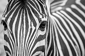 Close-up of a zebra in black and white in Chiang Mai zoo, Thailand.