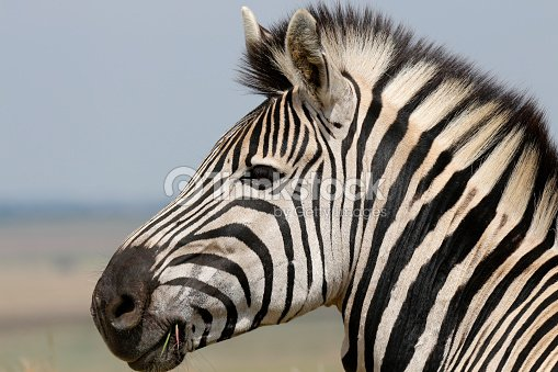 Zebra Face Stock Photo - Thinkstock