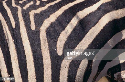 Zebra Flank : Stock Photo
