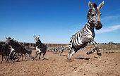 Zebra herd heading away from the Mara River