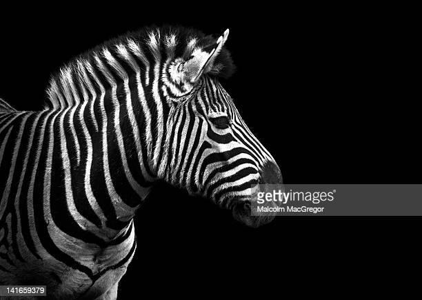 Zebra in black and white