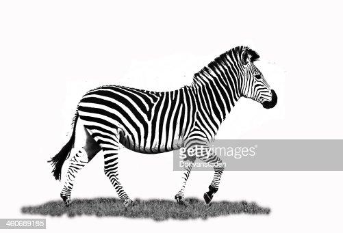 Zebra O Cebra Yahoo Cebra En Blanco Y Negr...