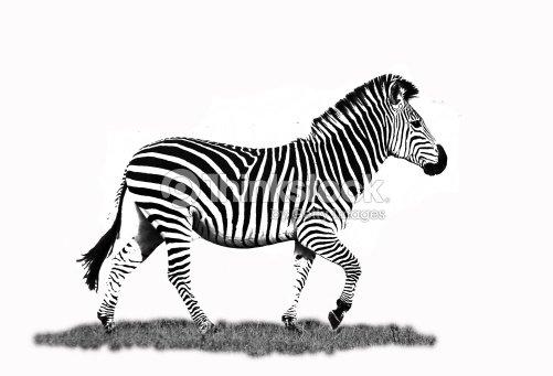Zebra O Cebra Yahoo Cebra En Blanco...