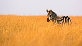 Lone zebra in expanse of high grass in warm evening light – Masai Mara, Kenya