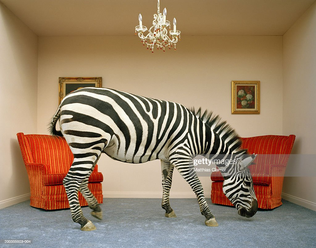 Zebra in living room smelling rug, side view