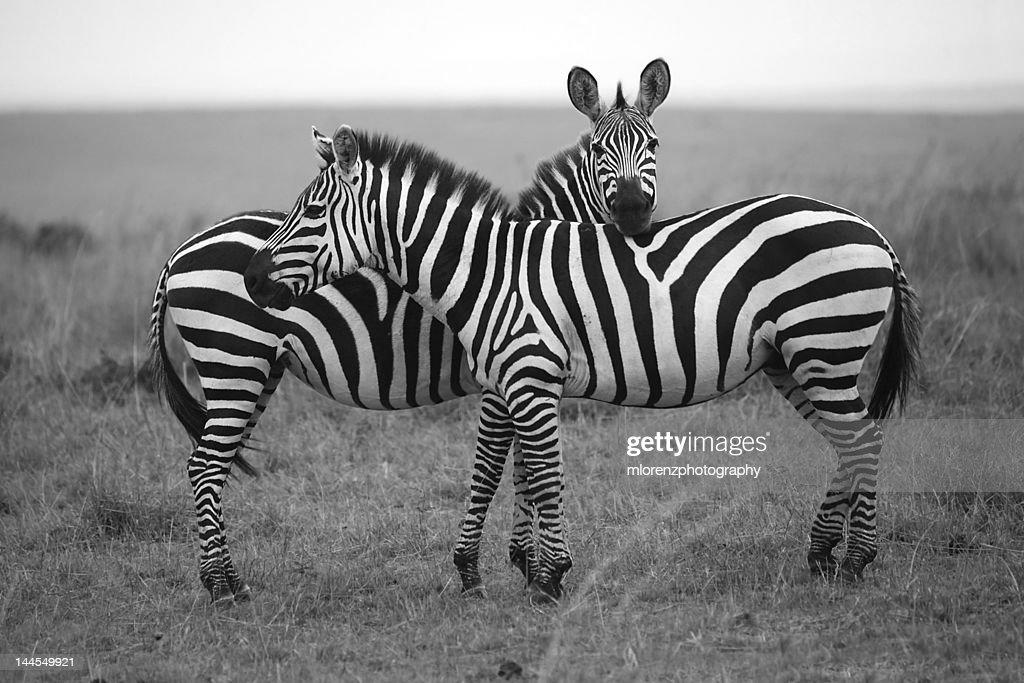 Zebra in Masai Mara : Stock Photo