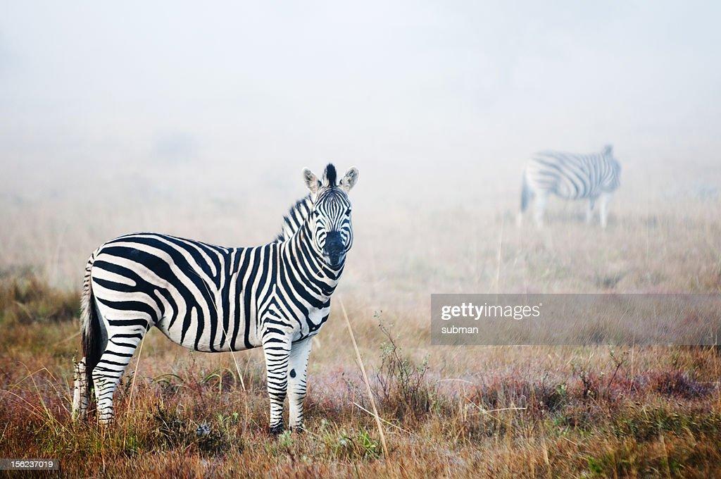 Zebra in mist : Stock Photo