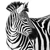 Profile Portrait of a Grant's Zebra Against a White Background